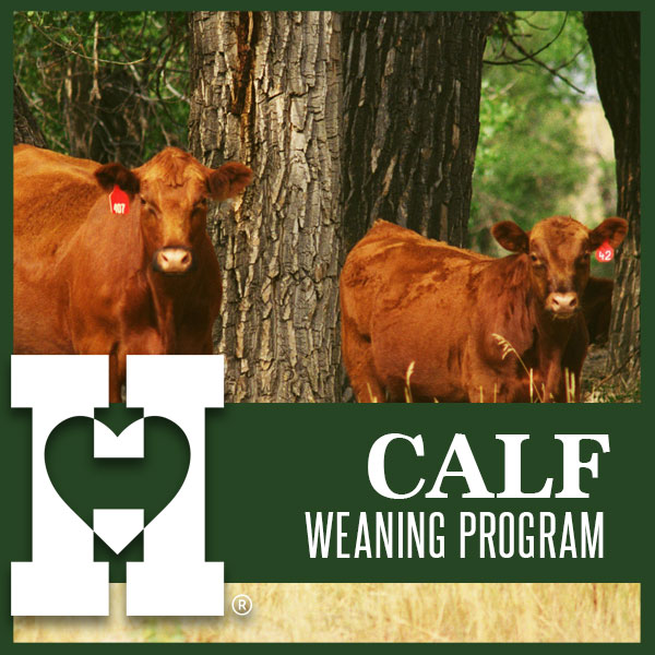 https://heartlandcattle.com/calf-weaning-program/